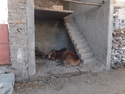 Cow chilling in empty building