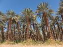 Date plantation