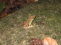 Frog in gunung palung