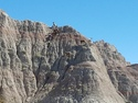 Goats of the badlands