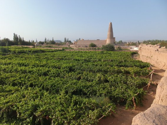 Grape field in front of the Emin Minaret