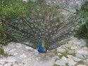 Magnificent peacock at bodrum castle