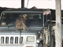Monkey sitting on jeep