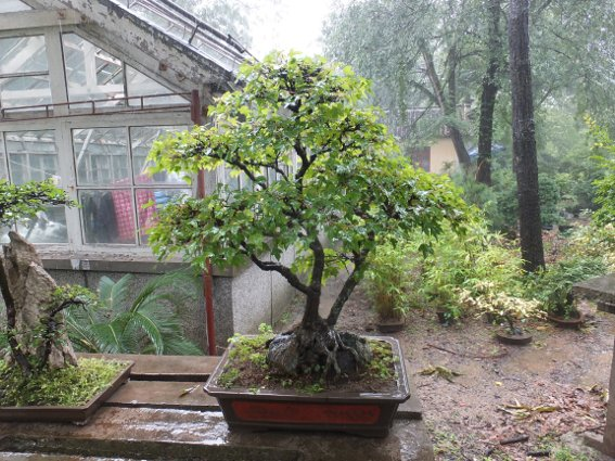 Bonsai on Purple Mountain in Nanjing