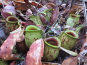 Several carnivorous pitcher plants