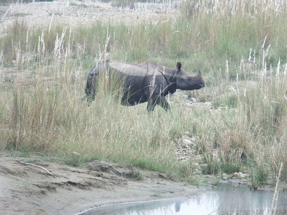 Wild rhino in Bardia National Park