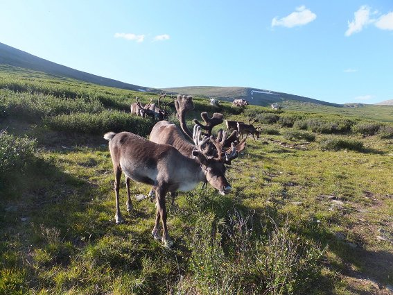 Part of the reindeer herd