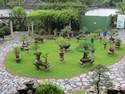 Singapore bonsai