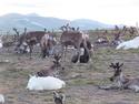 Tsaatan milking a reindeer