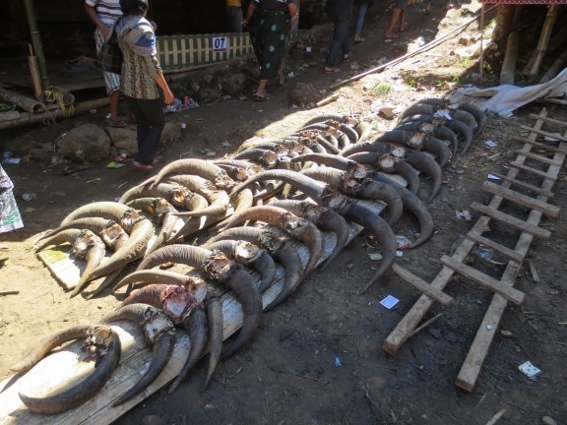 Two lines of water buffalo skulls at a Tana Toraja funeral ceremony