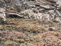 Wild herd of musk deer