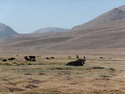 Yaks in field by bulunkul
