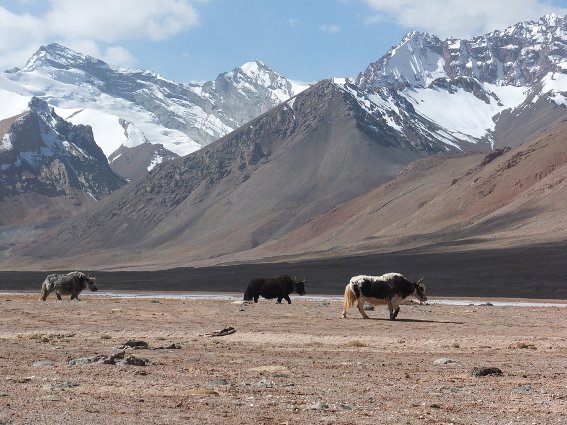 Yaks in the Pamir mountain range